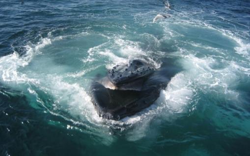 ballena-bofeton