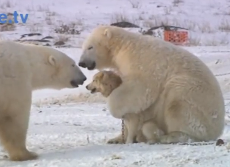 oso-polares-perros-jugando