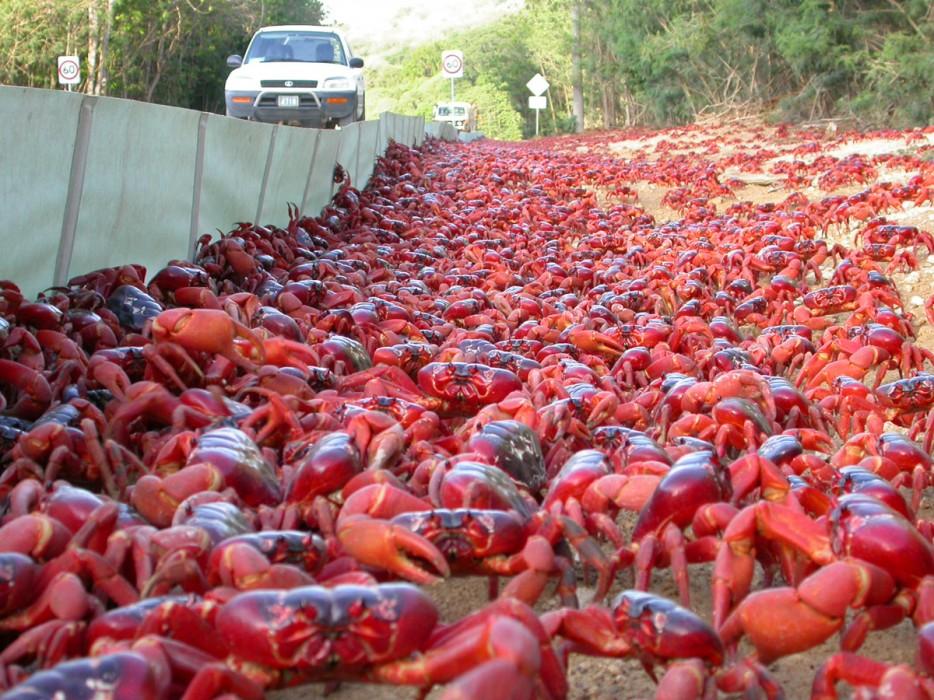 migracion-masiva-de-cangrejos-2