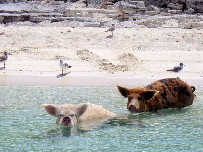 isla-de-los-cerdos-10