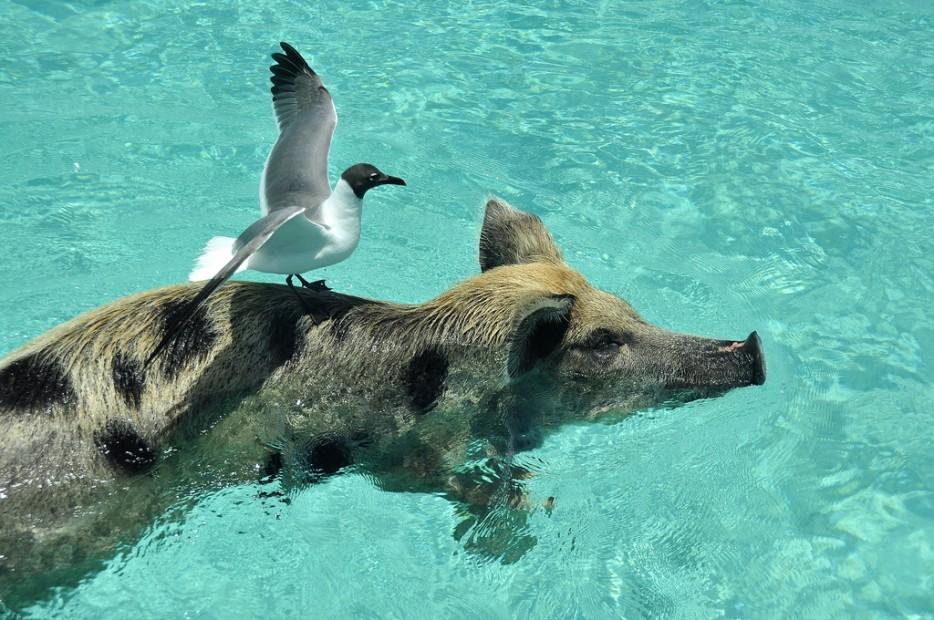 isla-de-los-cerdos-13