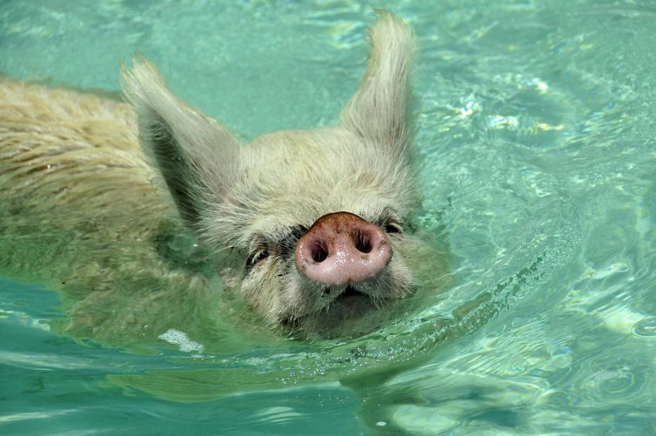 isla-de-los-cerdos-14