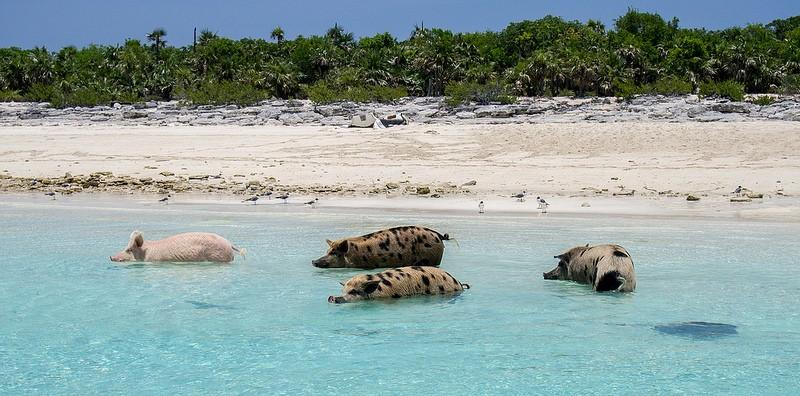 isla-de-los-cerdos-15