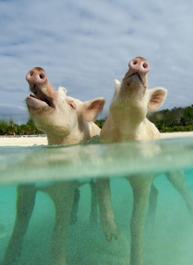 isla-de-los-cerdos-2
