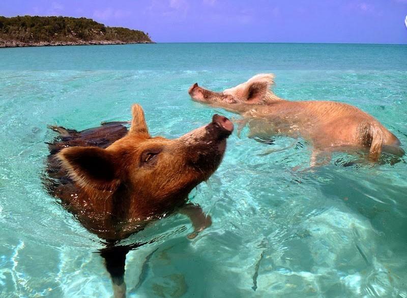 isla-de-los-cerdos-7