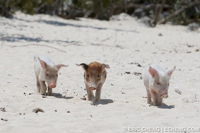 isla-de-los-cerdos-8