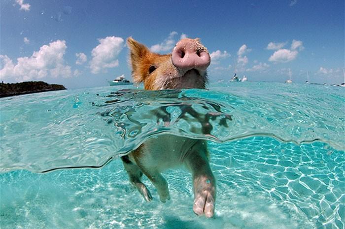 isla-de-los-cerdos-9