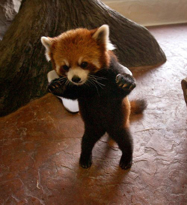 animales adorables intentado ser duros2