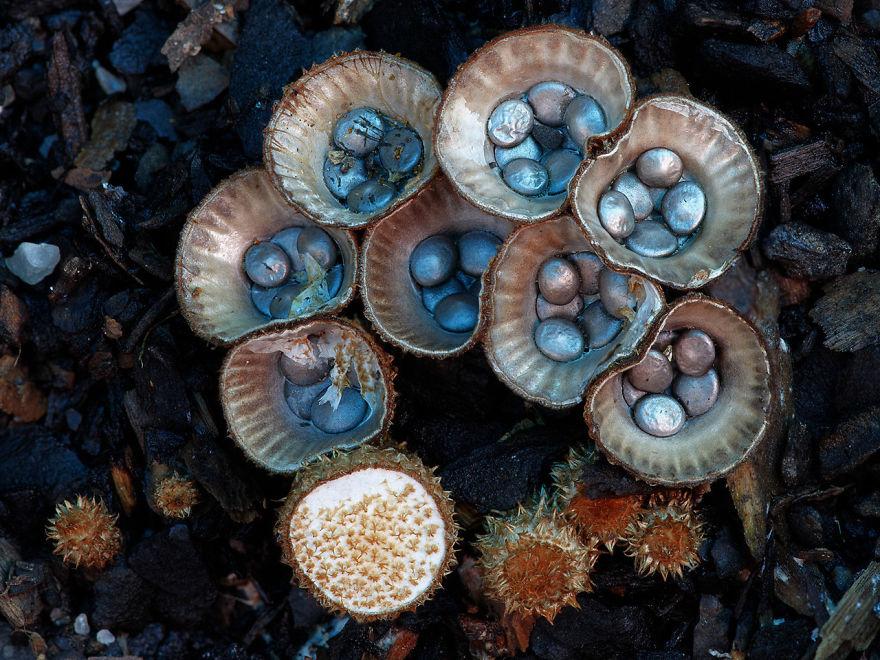 hongos y setas alucinantes16