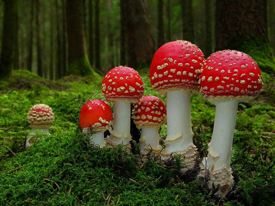 hongos y setas alucinantes26