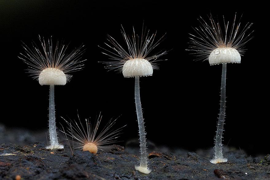hongos y setas alucinantes27