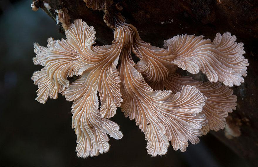 hongos y setas alucinantes6