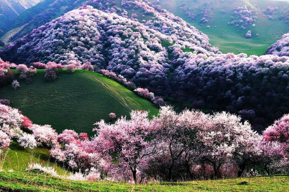30.-yili-apricot-valley