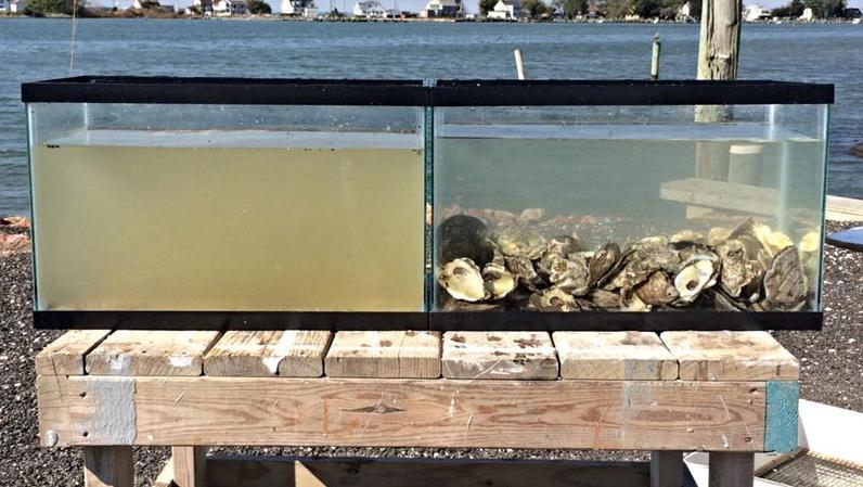 acuario-ostras