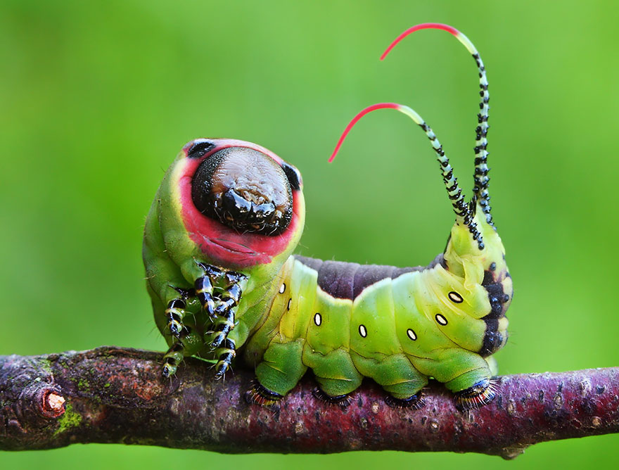 larvas y mariposas 19