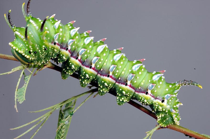 larvas y mariposas 27