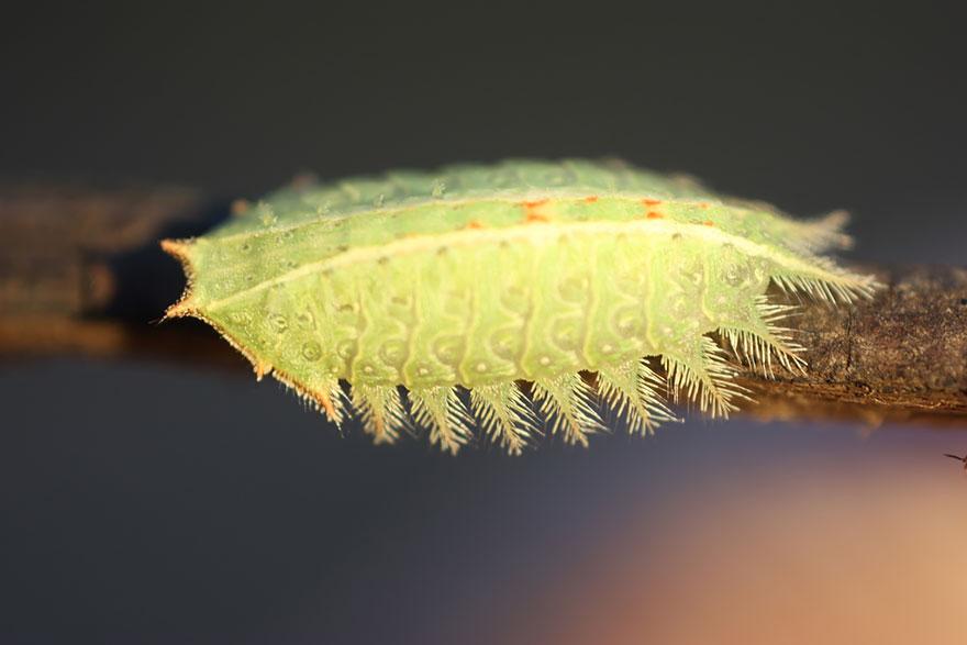 larvas y mariposas 29