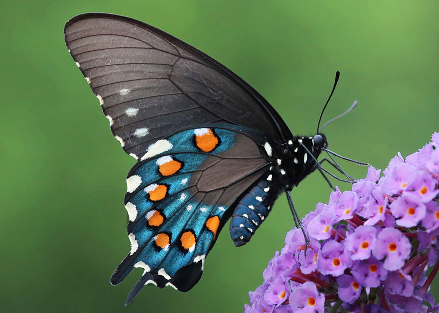 larvas y mariposas 32