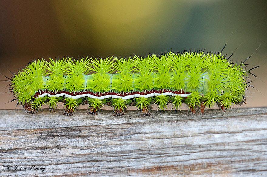 larvas y mariposas 35