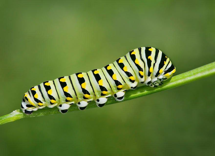 larvas y mariposas 7