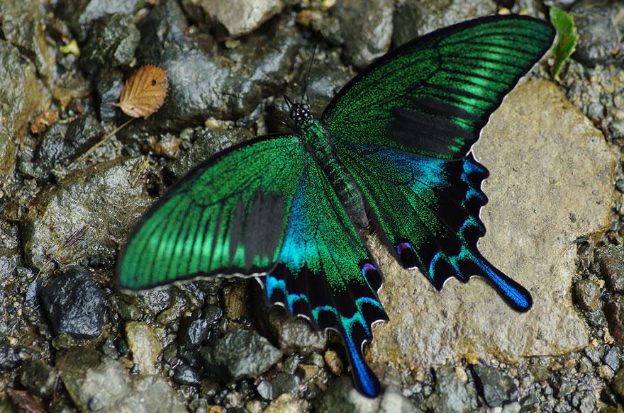 larvas y mariposas 8