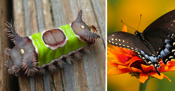 orugas-transformaciones-mariposa