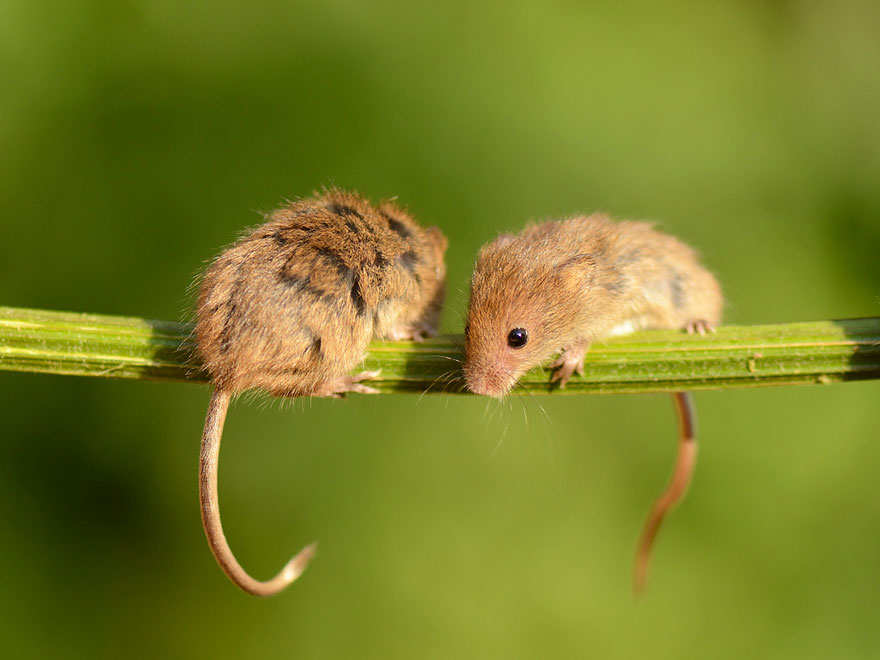 ratones-tiernos-10