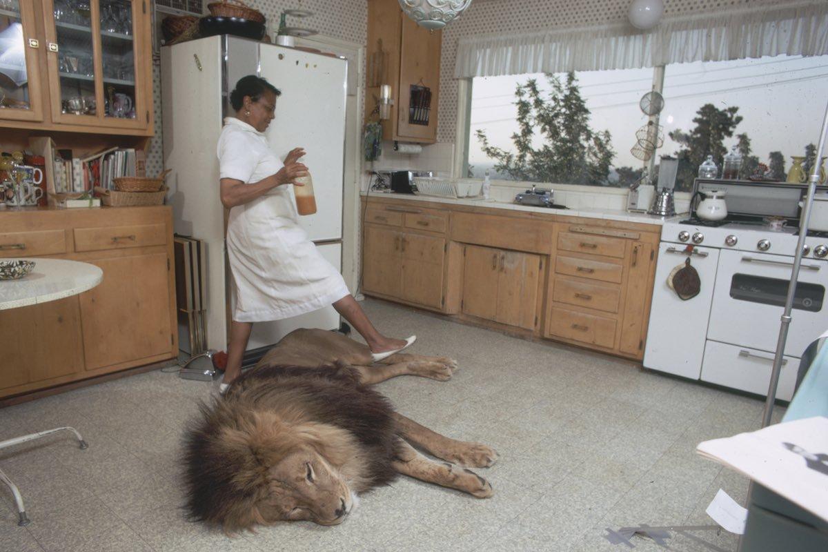 Un criada pasa por encima de león mascota en la casa de Tippi Hedren y Noel Marshall.