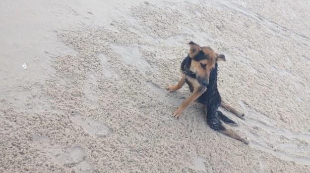 Perro paralitico 1