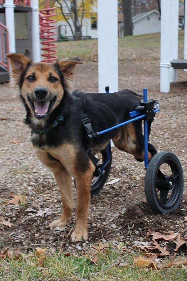 Perro paralitico 5