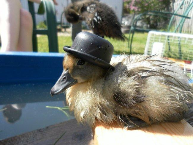 animales_sombrero11