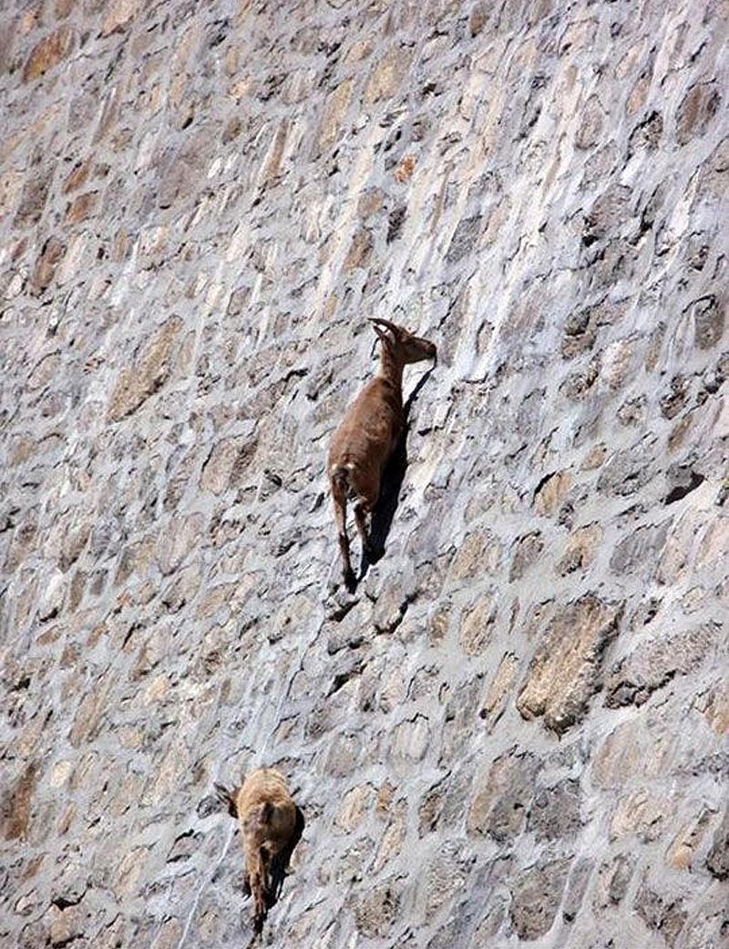cabras equilibristas 3