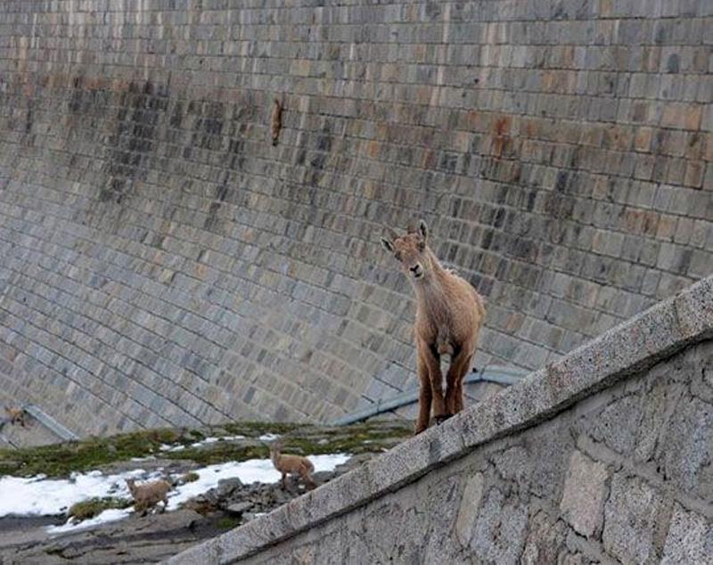 cabras equilibristas 4
