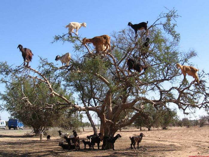 cabras equilibristas 5