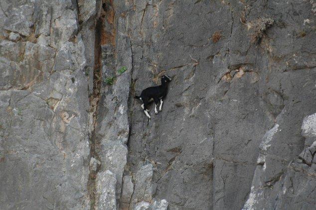 cabras equilibristas 7