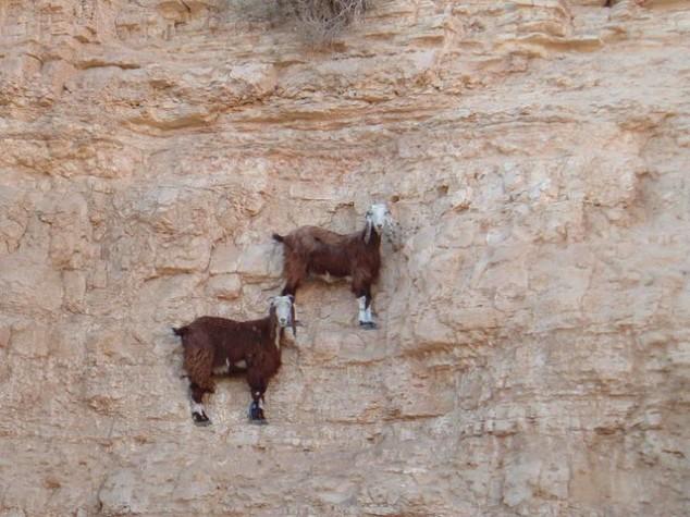 cabras equilibristas 8