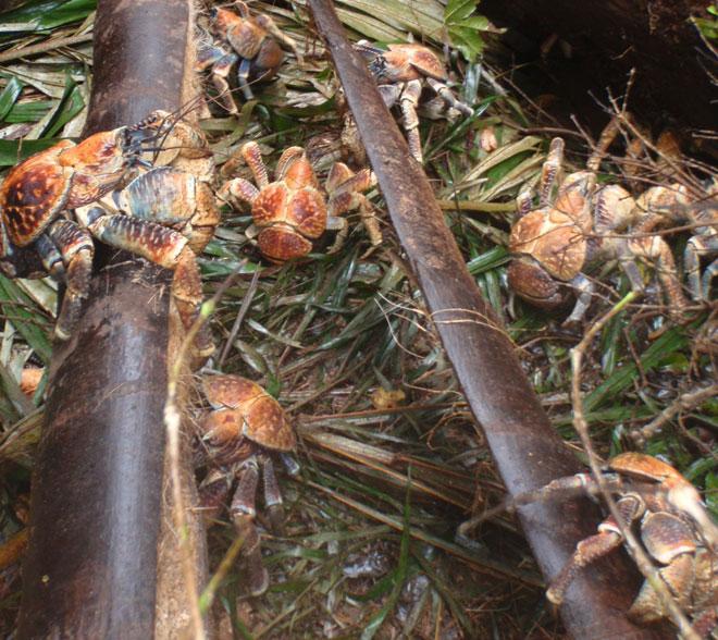 cangrejo cocotero 14