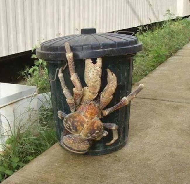cangrejo cocotero 2