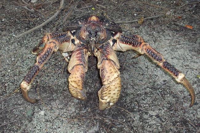 cangrejo cocotero 8