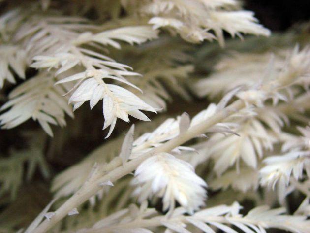 arboles albinos 8