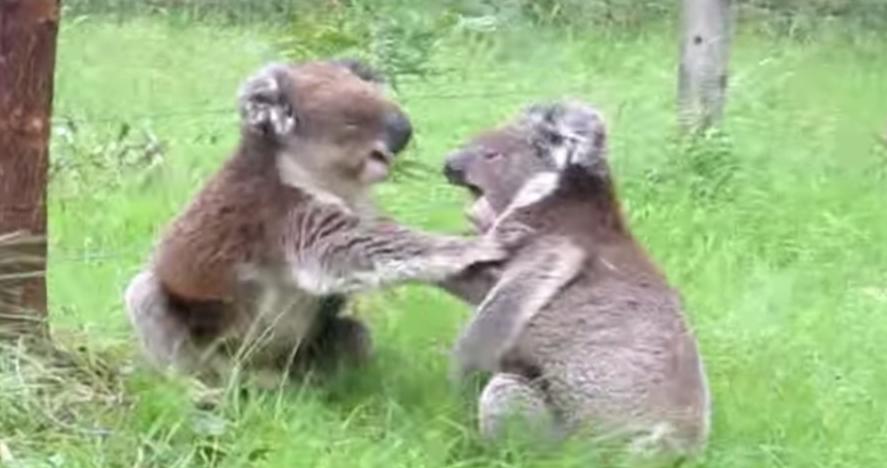 koalas-discutiendo