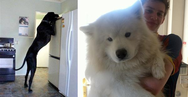 perros-gigantes