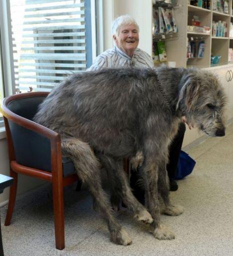 perros grandes 21