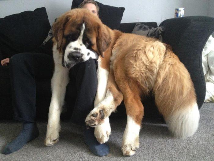 perros grandes 25