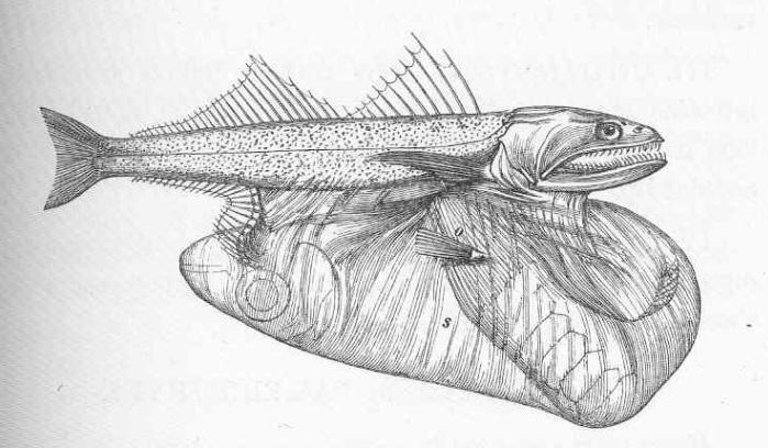 pez engullidor 5
