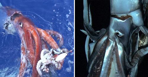 calamares-gigantes