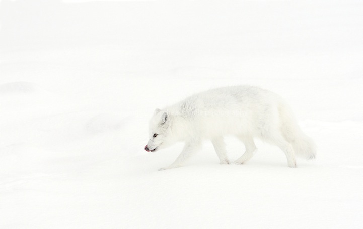 arctic fox 04