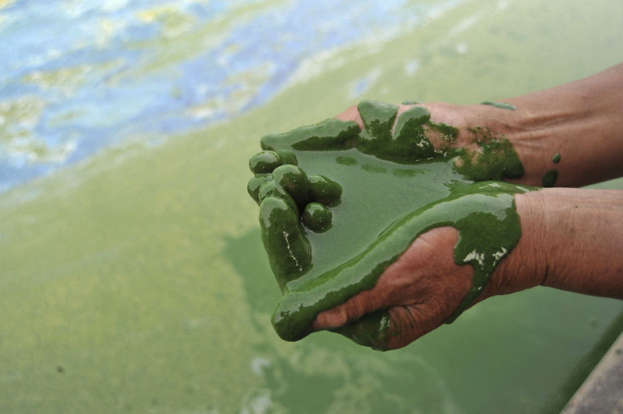 A fisherman fills his cupped palms with water from the algae-filled Chaohu Lake in Hefei