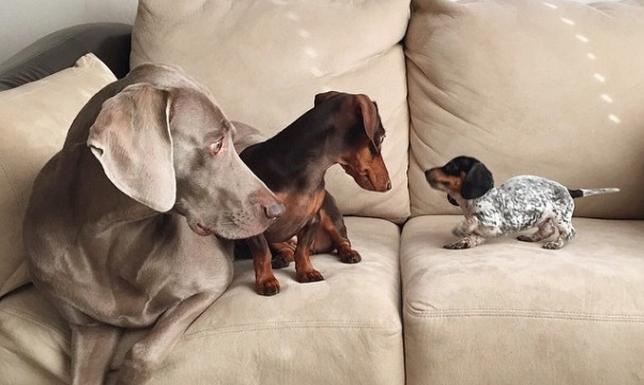 perros-instagram