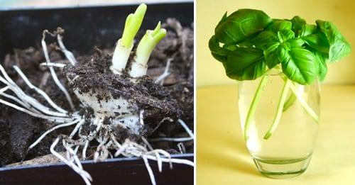 regenerar-vegetales